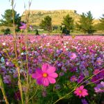 Nature___Flowers_Beautiful_Cosmos_in_the_garden_066861_